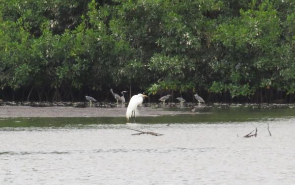 white egret tricolored herons caroni swamp trinidad
