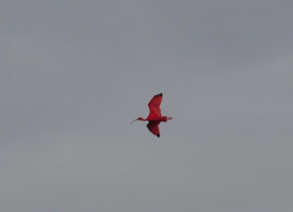 scarlet ibis caroni swamp trinidad