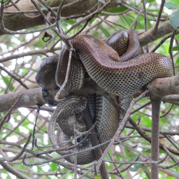 boas mating in caroni swamp trinidad