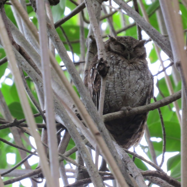 tropical screech owl caroni swamp trinidad
