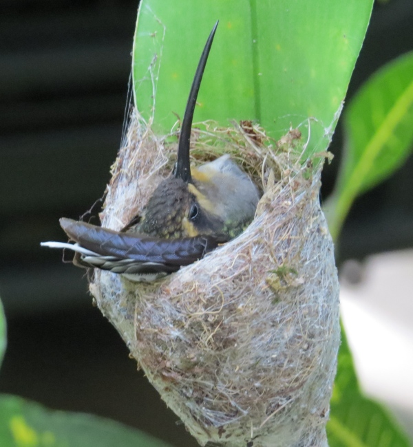 hummingbird in her nest at asa wright nature center