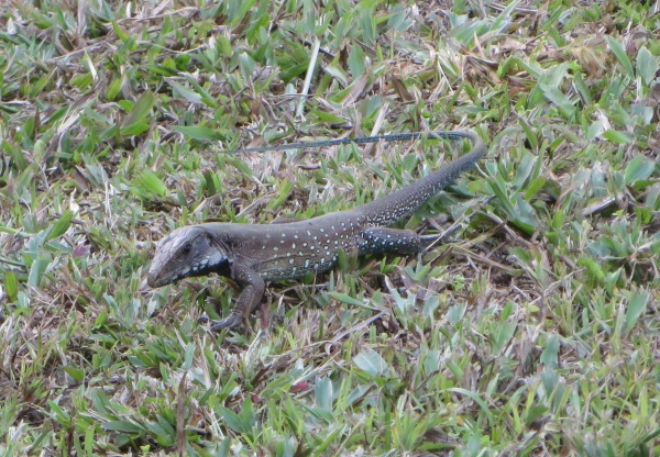 lizard at asa wright nature center