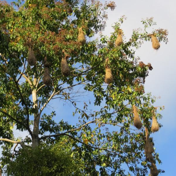 oropendola nest at asa wright nature center