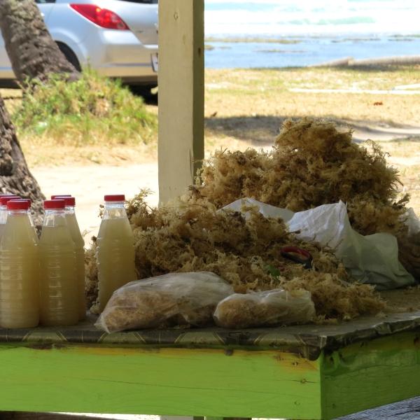 sea moss in trinidad