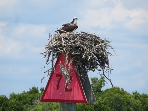 osprey nest on the intracoastal waterway