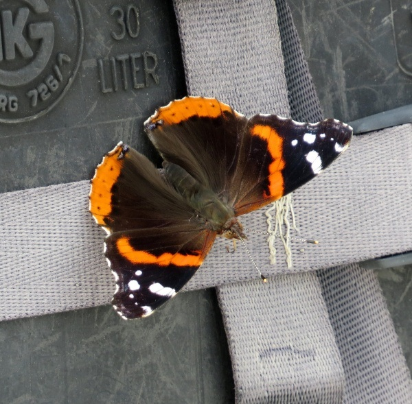 butterfly hitches a ride