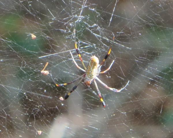 hairy kneed golden silk spider