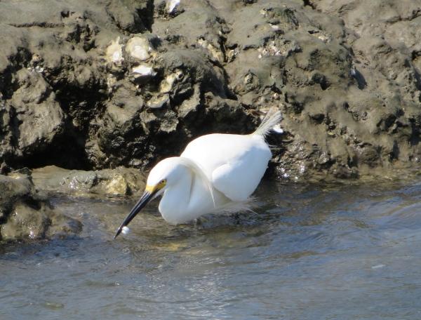 snowy egret fort matanzas st. augustine, florida