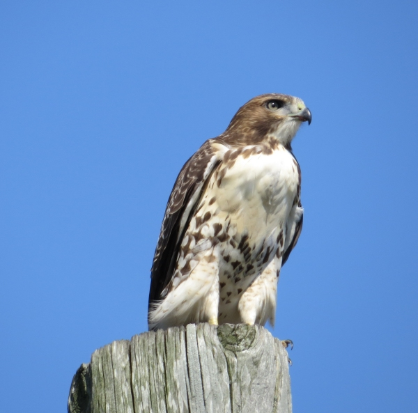 osprey in wickford rhode island