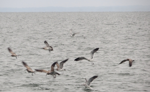 hungry gulls on the chesapeake