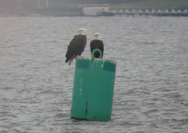 bald eagles on the chesapeake