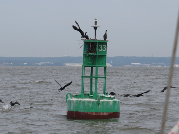 gulls and cormorants on the chesapeake