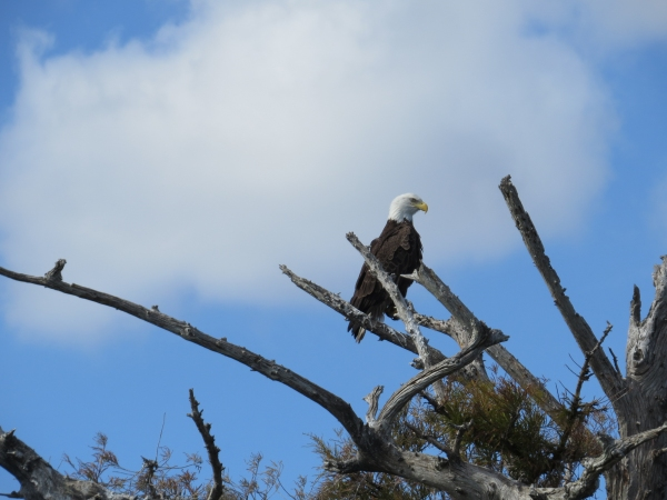 bald eagle in florida