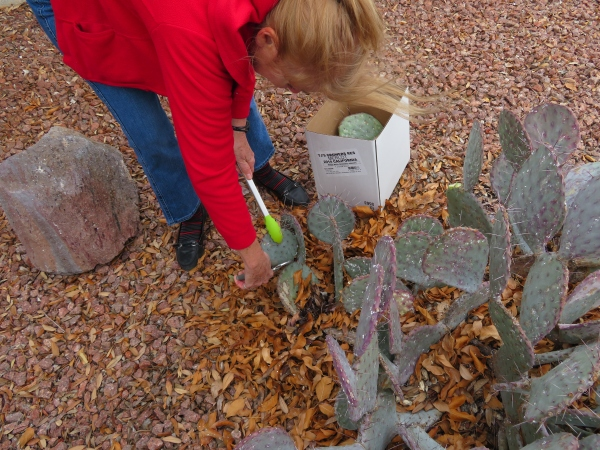pruning prickly pears