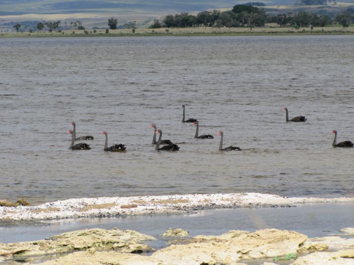 Chatham island Black Swans