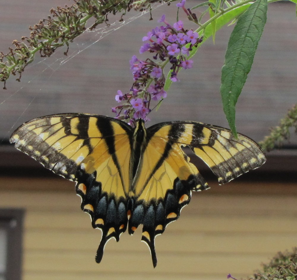 Pallid Tiger Swallowtail - W. Virginia