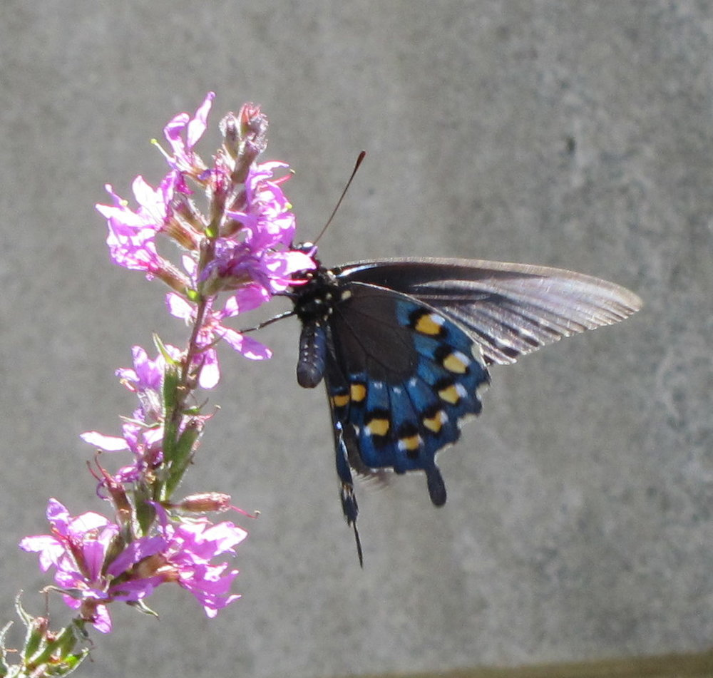 Pipevine Swallowtail - Indiana