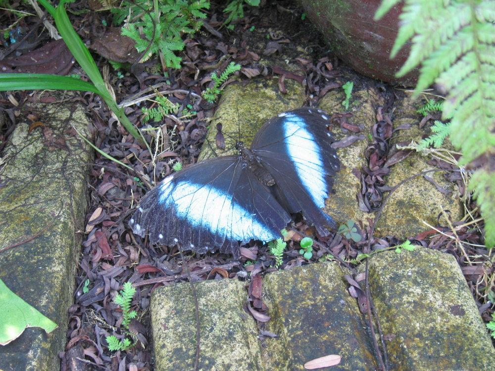 Blue Morpho - Peru