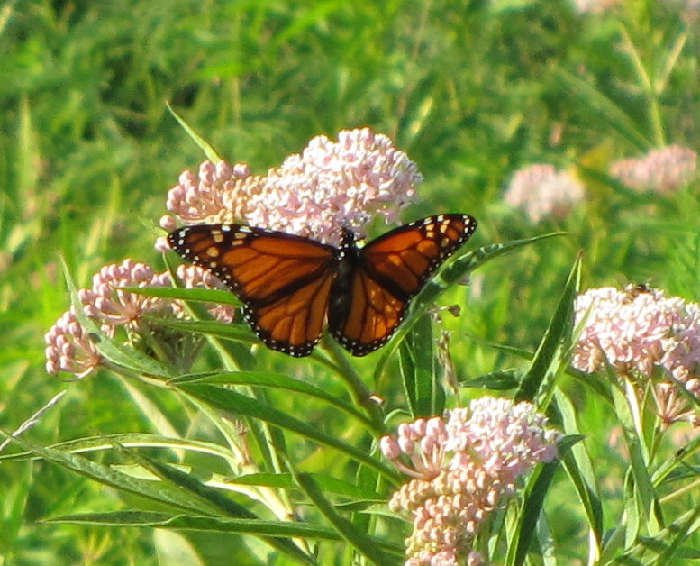 Milkweed Monarch - Iowa