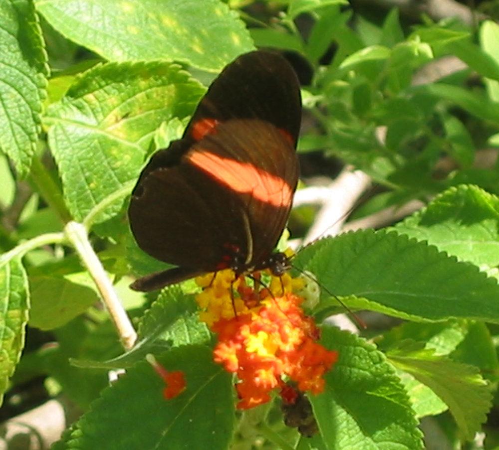 Heliconius erato - Trinidad