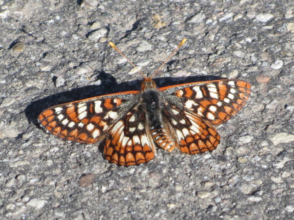 Mormon Metalmark - Nevada