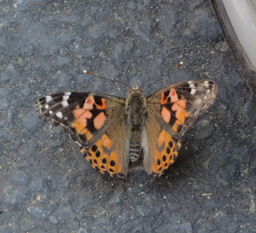 Painted Lady - California
