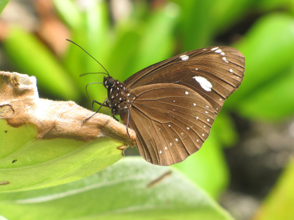Crow Butterfly - Niue