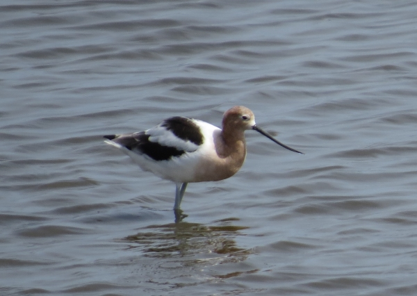 American Avocet in the marsh near Bodie Island Lighthouse