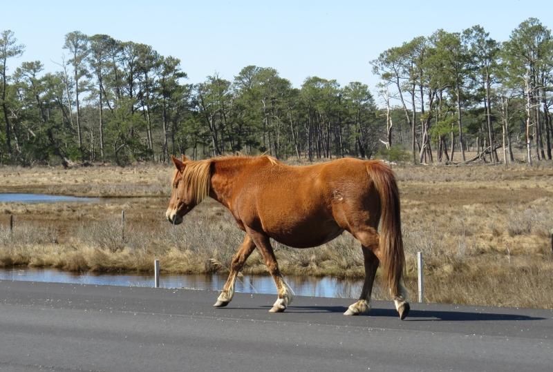Intent on finding some sweet grass to nibble, this mare walked within a few feet, but totally ignored us.