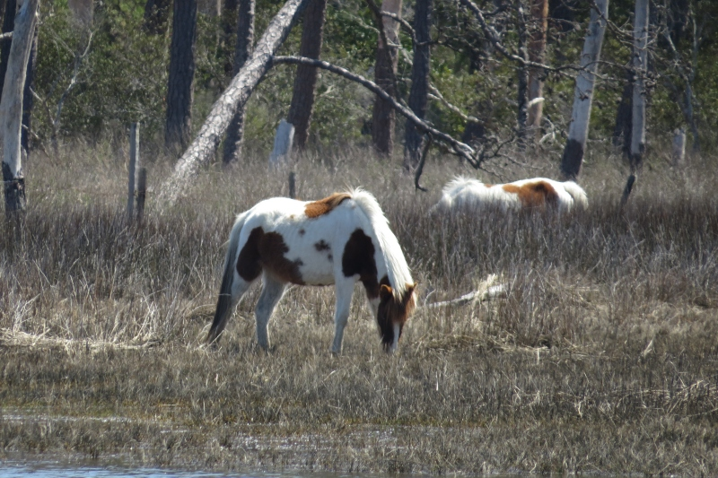 Arthur maneuvered the pontoon boat close enough for some close-up photos of the ponies.