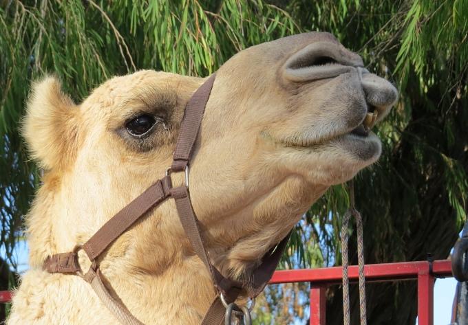 Camel rides, anyone?