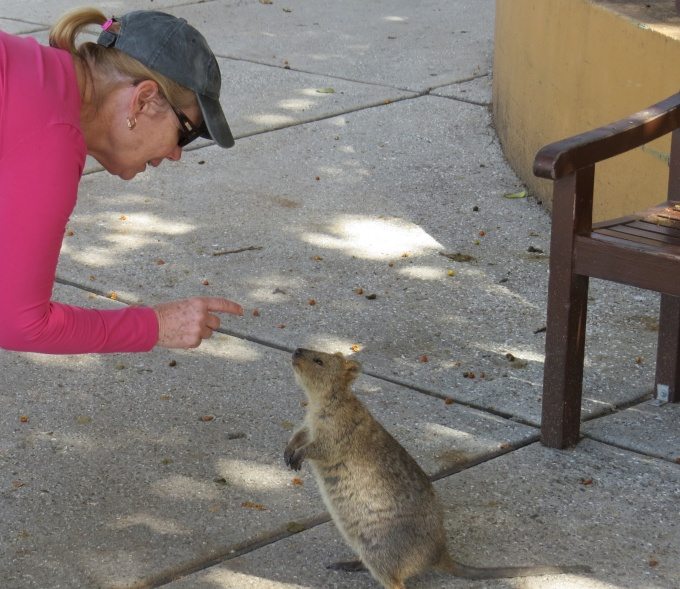 First encounter with a quokka