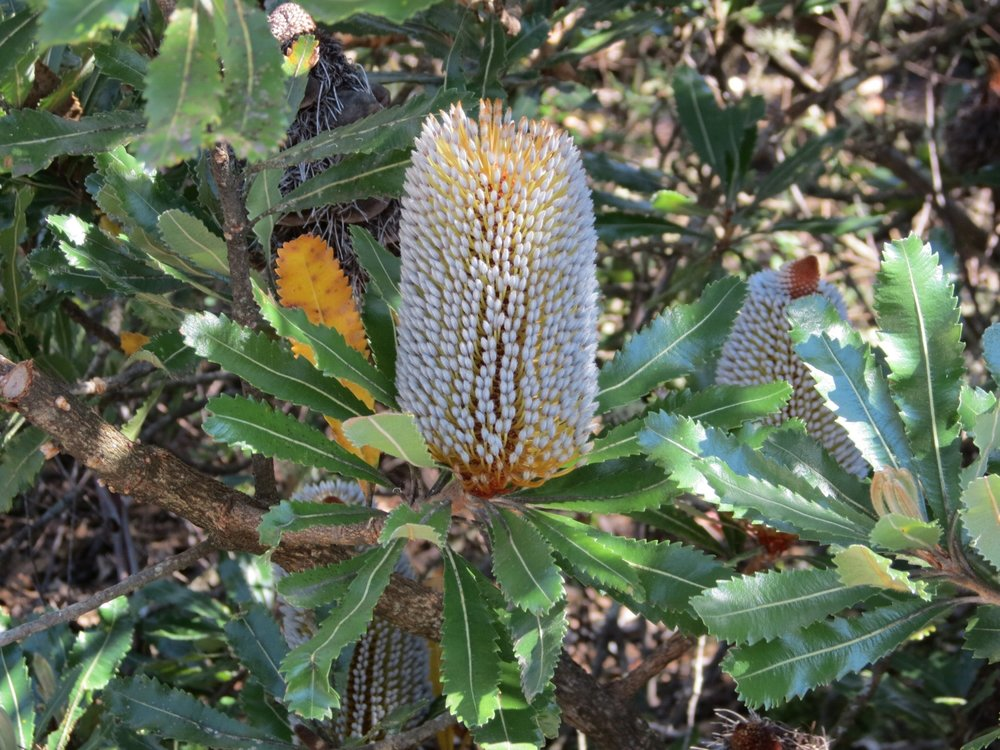 Banksia Tree at Australia National Botanic Garden