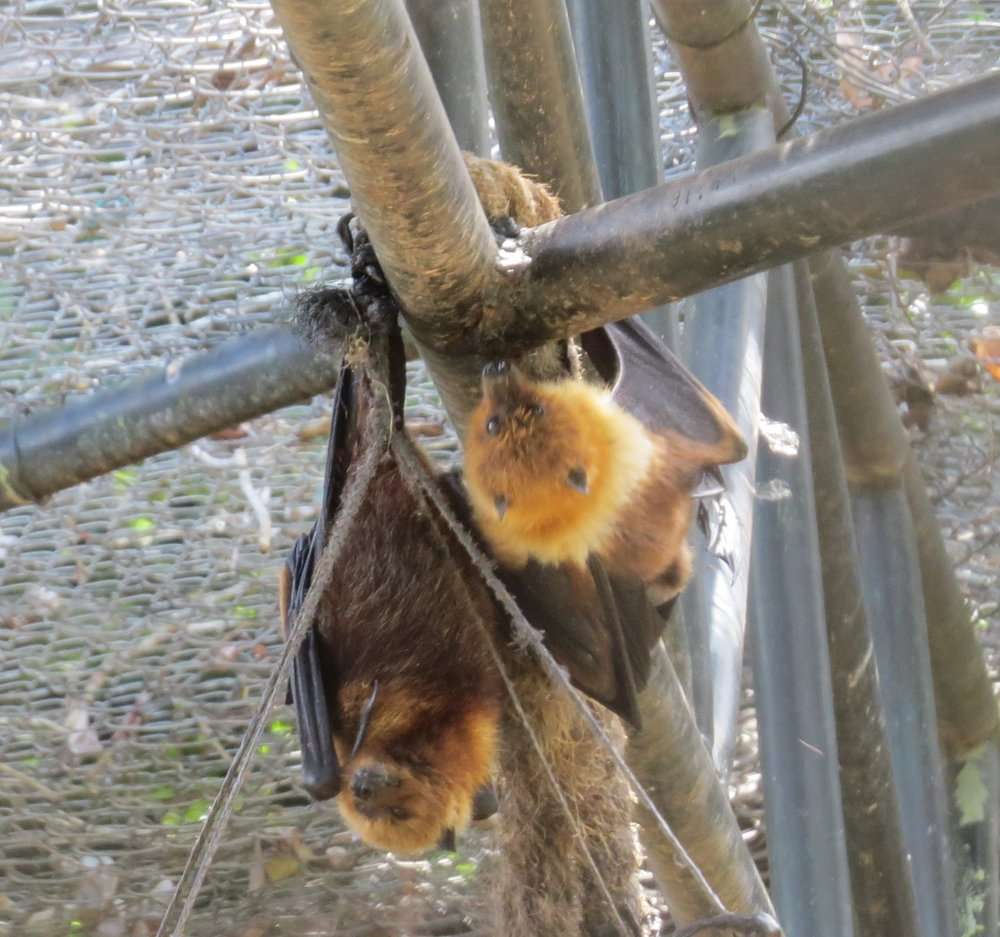 Rare blonde bats