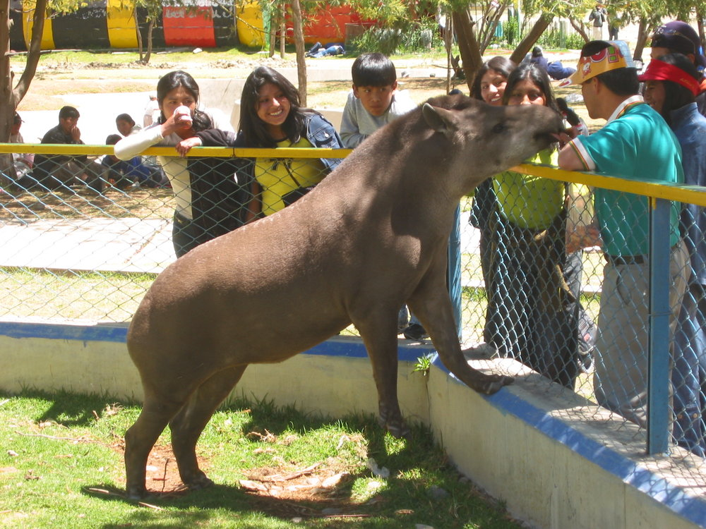 A tapir begging for food