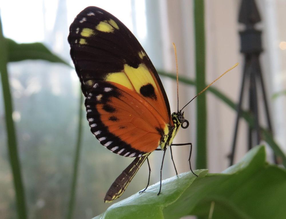 butterfly proboscis.JPG