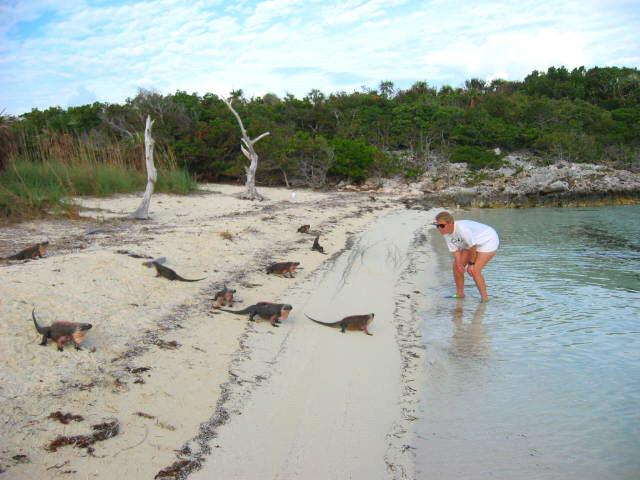 Iguanas at Allan's Cay