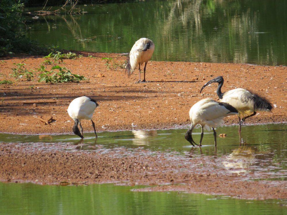Sacred ibis enjoy a waterhole