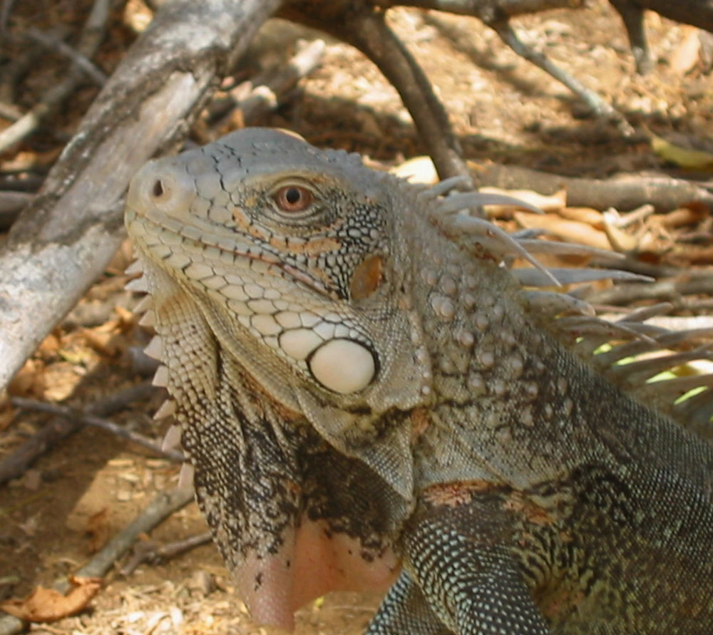 Up close iguana - yikes!