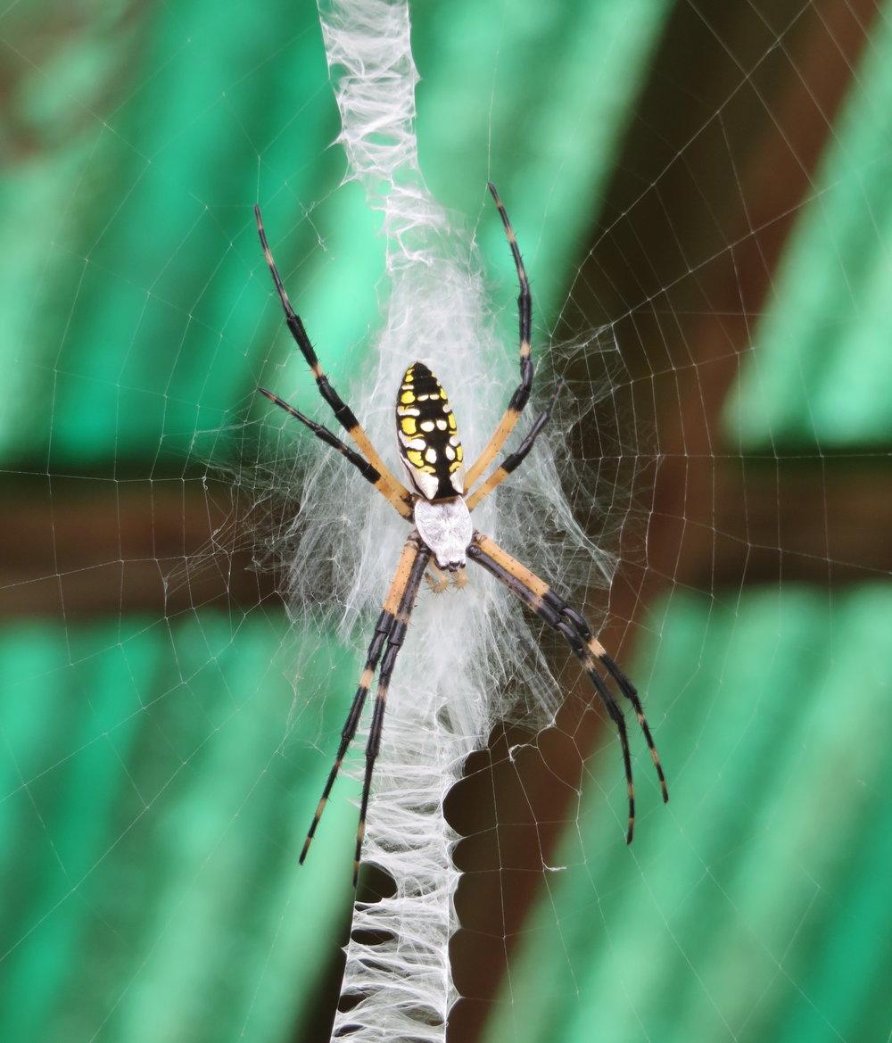 Argiope aurantia aka Corn Spider