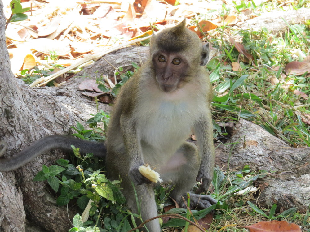 Long-tailed macaques (ma-KACKs), introduced by the Dutch in the 17th century, were quite numerous as we moved along the road through the national park, especially in areas where they received hand-outs from humans.