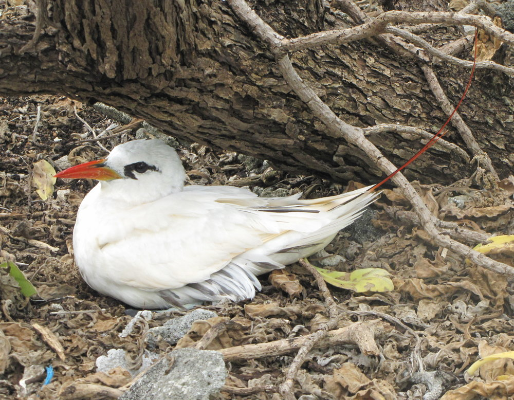 Red-tailed tropic bird nesting