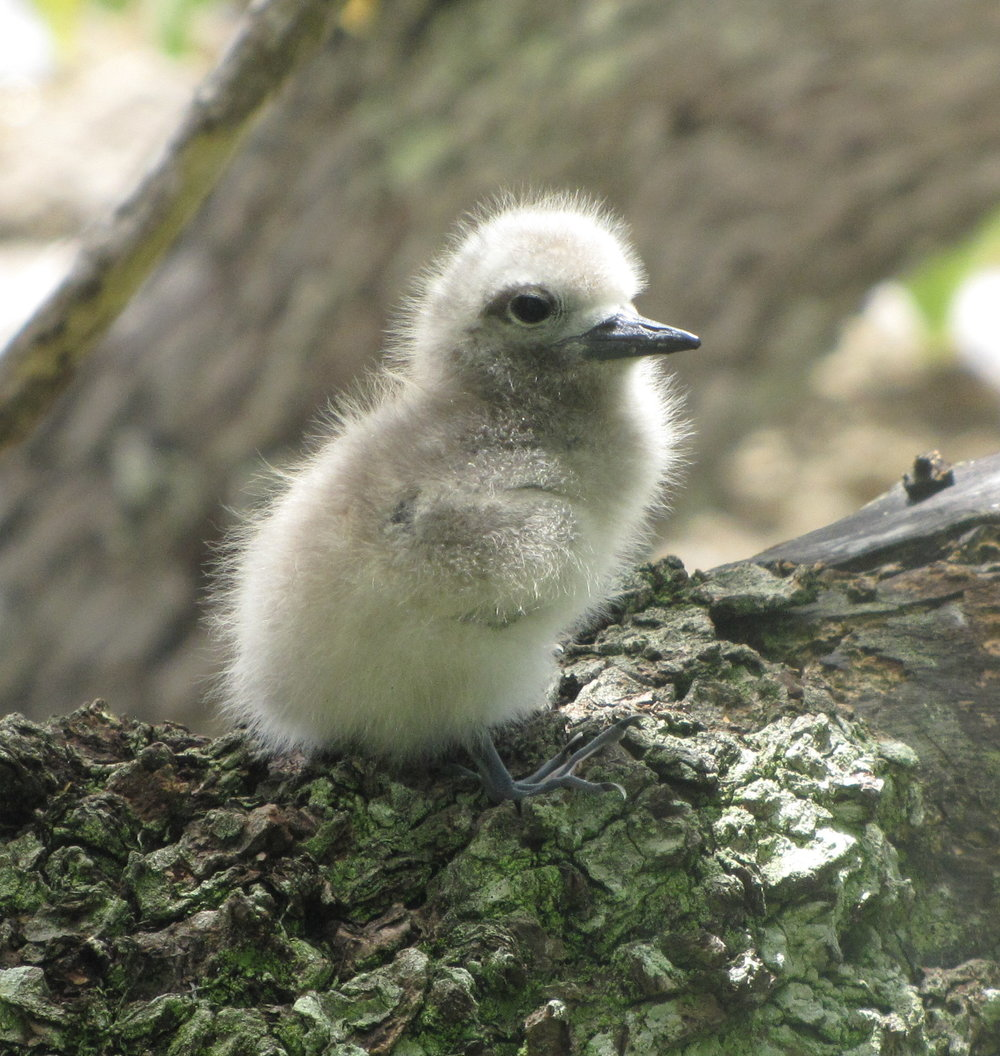 Fairy tern chick