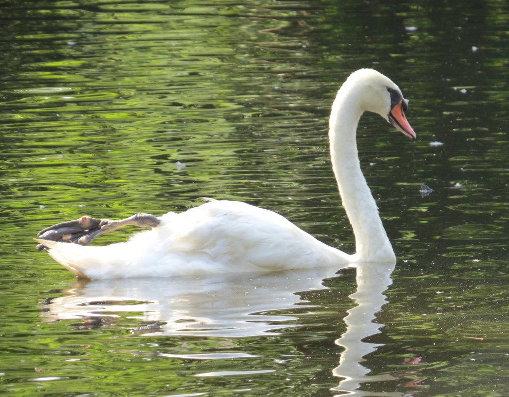 Mute swan at Swan Lake Iris Gardens, Sumter, SC