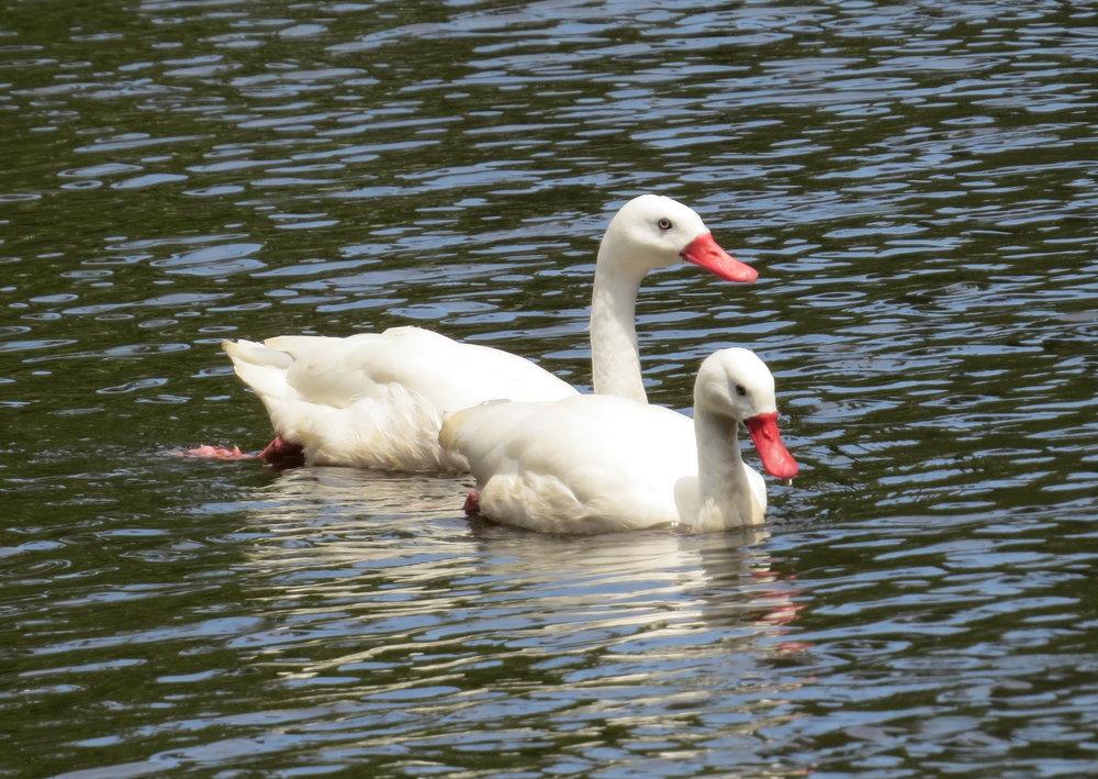 Coscoroba swan couple