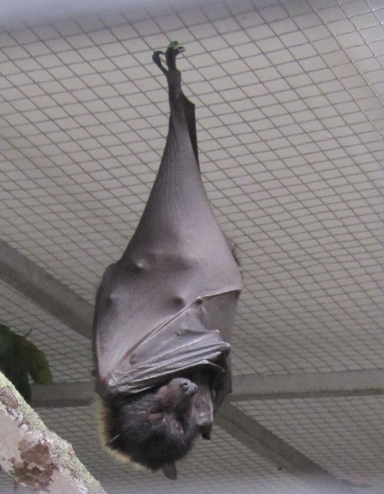 Flying fox napping