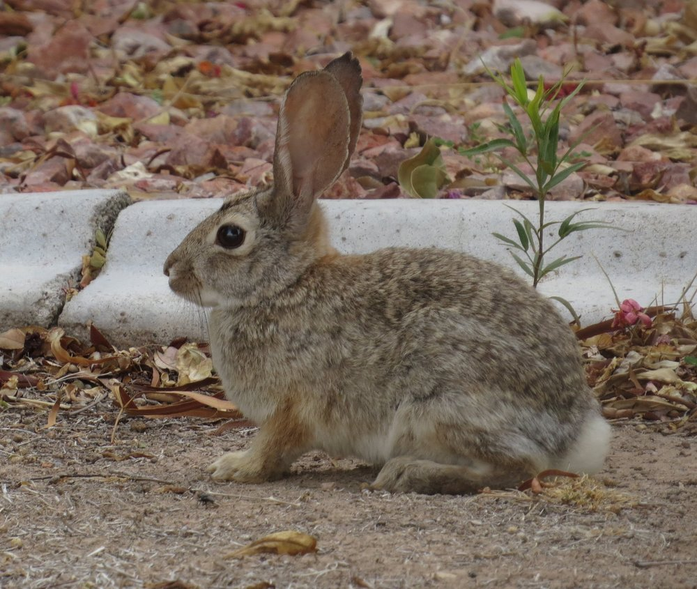 Desert cottontails abound on our morning walks around the golf course.