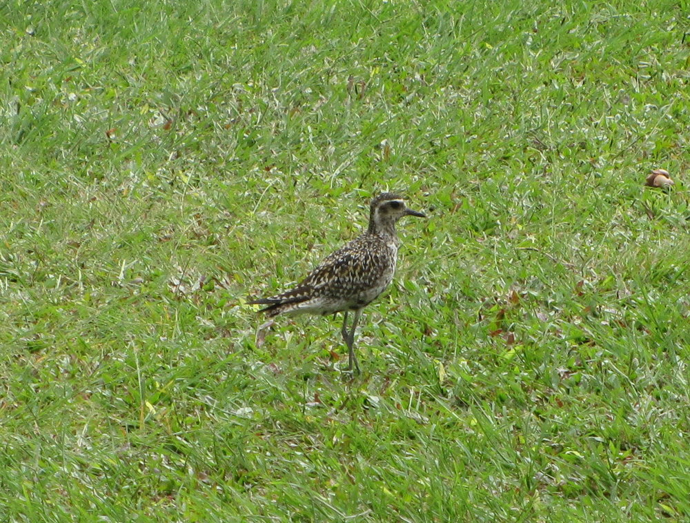 Buff-banded rails roam the greens.