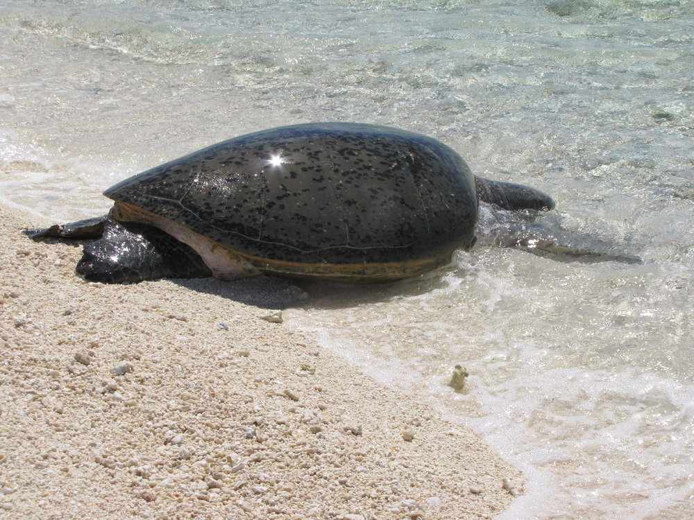 Sea turtle returns to the sea after laying her eggs.