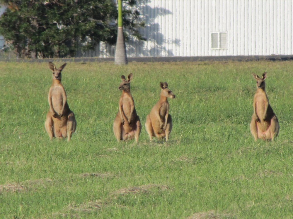 Iconic Australia ... kangaroos in Bundaberg.